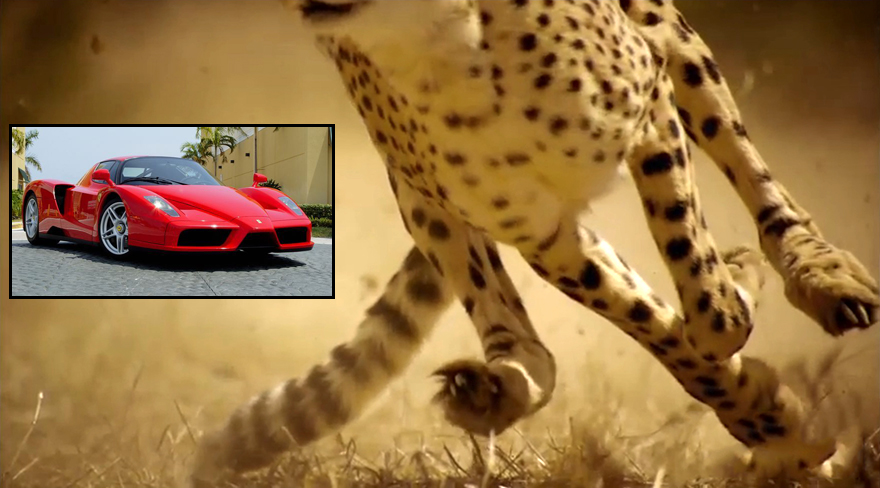 Speed challenge: Animals VS. Cars! Who Wins?